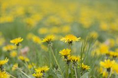 Yellow in Spring. A bounch of yellow flowers in spring time Royalty Free Stock Image