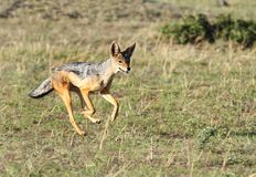 A bouncing black backed Jackal Stock Photography