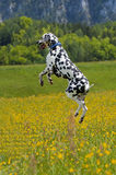 Bouncing Dalmatian. In   the summer meadow of the Alpes Royalty Free Stock Photography