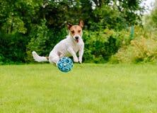 Bouncing dog playing at back yard jumping with toy ball Stock Photos