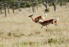 Bouncing Impalas Stock Image