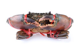 Bound Crab Stock Photography