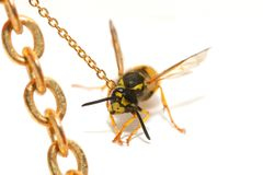 Bound wasp Royalty Free Stock Images