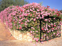 Boundary wall and gate covered in Ivy Geranium flowers Stock Photo