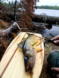 Boundary waters walleye on paddle. With downed trees and lake in the back ground Stock Images
