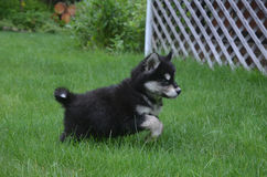 Bounding and Playing Alusky Husky Puppy in a Yard Royalty Free Stock Image