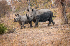 Bounding White rhino in the Kruger National Park, South Africa. Royalty Free Stock Image