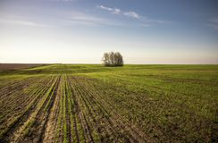 Boundless agriculture field with seedling wheat sprouts horizon springtime at sunrise as agricultural countryside scenery landscap