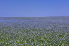 Boundless expanses of fields with blue flax flowers. Flowering of flax on a sunny day Royalty Free Stock Photos