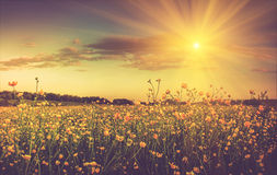 The boundless field and blooming colorful yellow flowers in the sun rays. Stock Photo