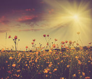 The boundless field and blooming colorful yellow flowers in the sun rays. Stock Photography