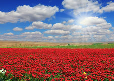 Boundless field with flowers Royalty Free Stock Image