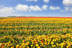 Boundless  field under yellow flowers. Stock Photos