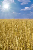 Boundless field of wheat Royalty Free Stock Images