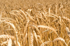Boundless field of wheat Royalty Free Stock Photo