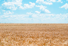 Boundless field of wheat with yellow cones against the blue sky Royalty Free Stock Images