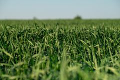 Boundless green wheat  field sky. Boundless  green wheat    field blue sky Stock Photography