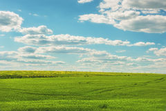 Boundless   greenfields of wheat Royalty Free Stock Photos