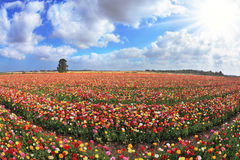 Boundless kibbutz field sown with flowers Stock Image