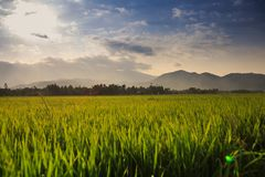 Boundless Rice Field against Hills under Blue Sky in Vietnam. Boundless rice field vanishes into space against hills on horizon and blue cloudy sky in Vietnam Stock Photos