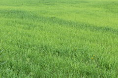 The boundless sea of fresh green grass. Stock Image