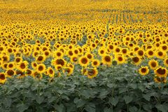 Boundless  summer field of blooming sunflowers Stock Photos