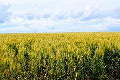 Boundless wheat field against the blue sky. Boundless wheat field against the blue sky and beautiful cumulus clouds Royalty Free Stock Photos