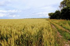 Boundless wheat field against the blue sky. Stock Photography