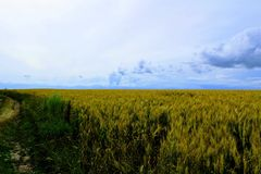 Boundless wheat field against the blue sky. Boundless wheat field against the blue sky and beautiful cumulus clouds Royalty Free Stock Image