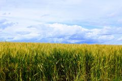 Boundless wheat field against the blue sky. Boundless wheat field against the blue sky and beautiful cumulus clouds Stock Image