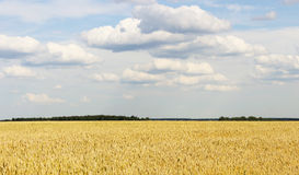 The boundless wheat field Royalty Free Stock Images
