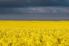 Boundless yellow field Royalty Free Stock Photos
