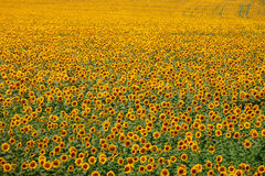 Boundless yellow field of sunflowers. At sunset Royalty Free Stock Images
