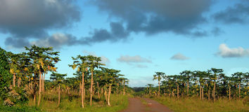 Bountiful Crop of Papaya Royalty Free Stock Photography