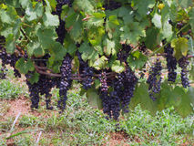 Bountiful Grapes on the Vine. Bountiful Grapes Ripening on the Vine at a Vinyard Stock Photo