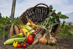 Bountiful harvest. A harvest of seasnon vegetables spilling from a wicker basket Royalty Free Stock Photos