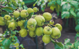 Bountiful harvest of apples. Green delicious apples on a branch of an Apple tree in the garden. Delicious healthy food. Rustic flavor Stock Image