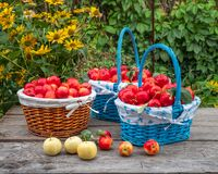Free Bountiful Harvest Of Red Apples In Wicker Baskets On A Wooden Table In A Garden Stock Photography - 194275022