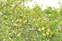 Bountiful Harvest of Pears Growing on Pear Tree. A bountiful harvest of pears growing on a pear tree in the garden Stock Image