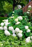 Bountiful Hydrangeas. White Hydrangeas Overflowing Stock Photography