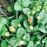 A bounty promised. Strawberry patch little green Royalty Free Stock Photos