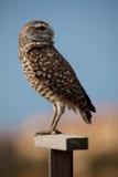 bououghing jego spojrzenia nad sowy ramieniem Obraz Royalty Free