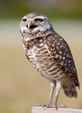 Bououghing owl yells at intruders. To go away Stock Photo