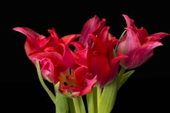 Bouqet of spring flowers red tulip isolated on black background, close up. Bouqet of spring flowers red tulip isolated on black background, close up royalty free stock image