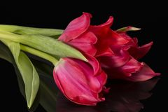 Bouqet of spring flowers red tulip isolated on black background, mirror reflection. Bouqet of spring flowers red tulip isolated on black background, mirror royalty free stock images