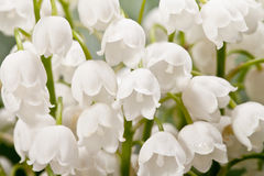 Bouqet of springtime flowers  Convallaria close up.  Royalty Free Stock Photos