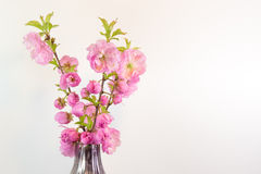Bouquet of almond blossom isolated on white in a vase Stock Photos