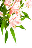 Bouquet of alstroemeria. Isolated over white Stock Photo
