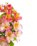 Bouquet of Alstroemeria flowers Royalty Free Stock Photo