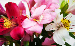 Bouquet of alstroemeria flowers Stock Photography